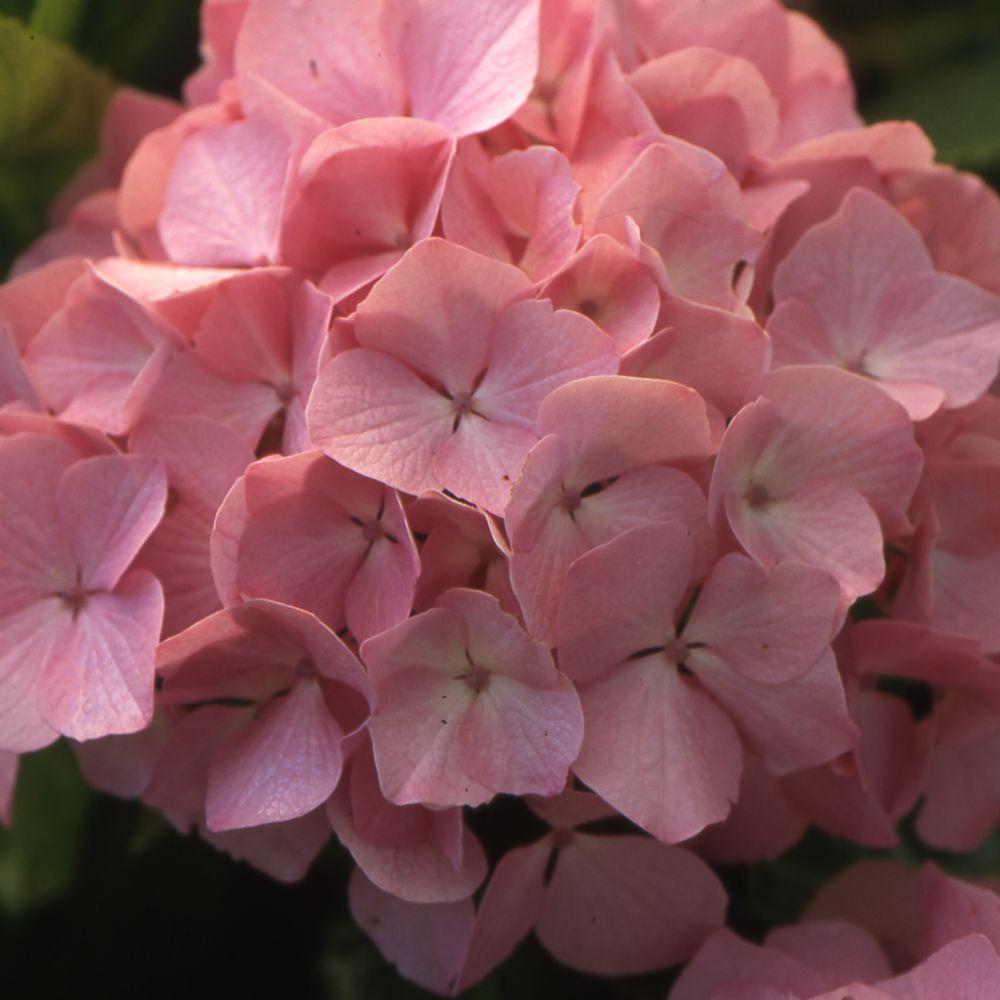 hortensia 39 madame plumecoq 39 collection 1900 plantes et jardins. Black Bedroom Furniture Sets. Home Design Ideas