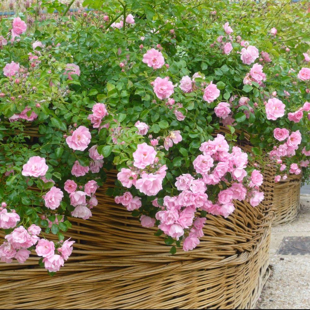 D corosier 39 mareva 39 plantes et jardins for Plantes et jardins adresse