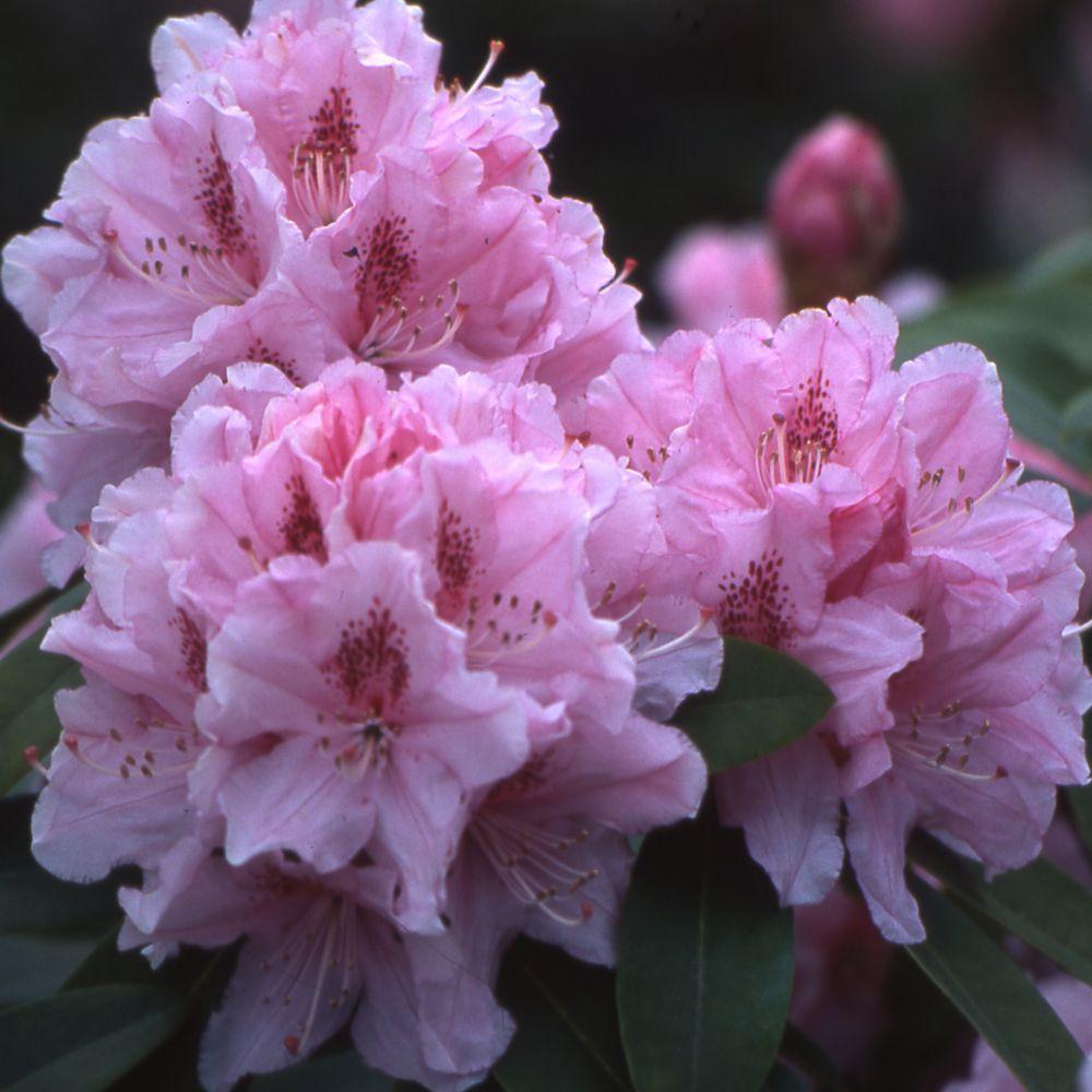 rhododendron albert schweitzer - Planter Un Rhododendron Dans Votre Jardin