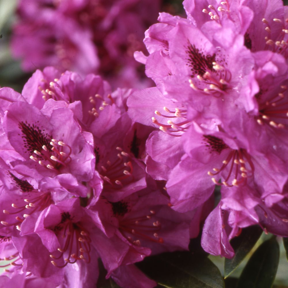 rhododendron ponticum crire un avis - Planter Un Rhododendron Dans Votre Jardin