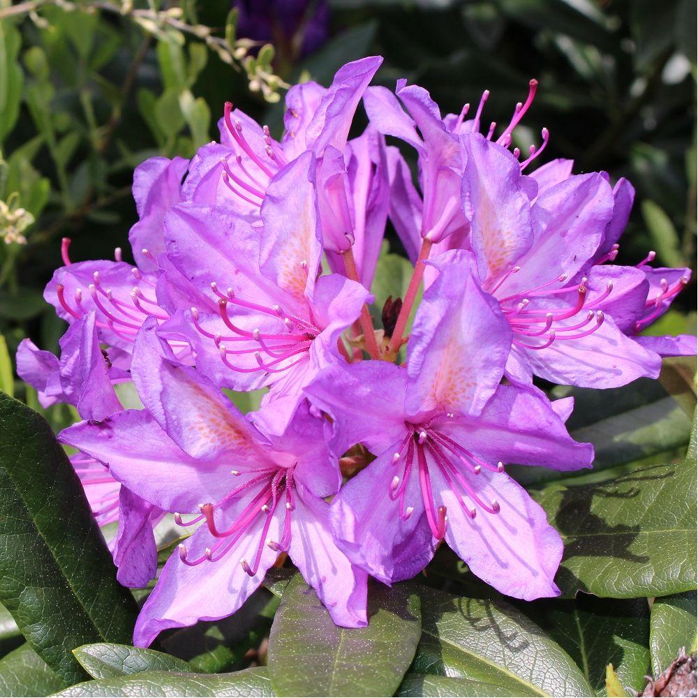 rhododendron ponticum - Planter Un Rhododendron Dans Votre Jardin