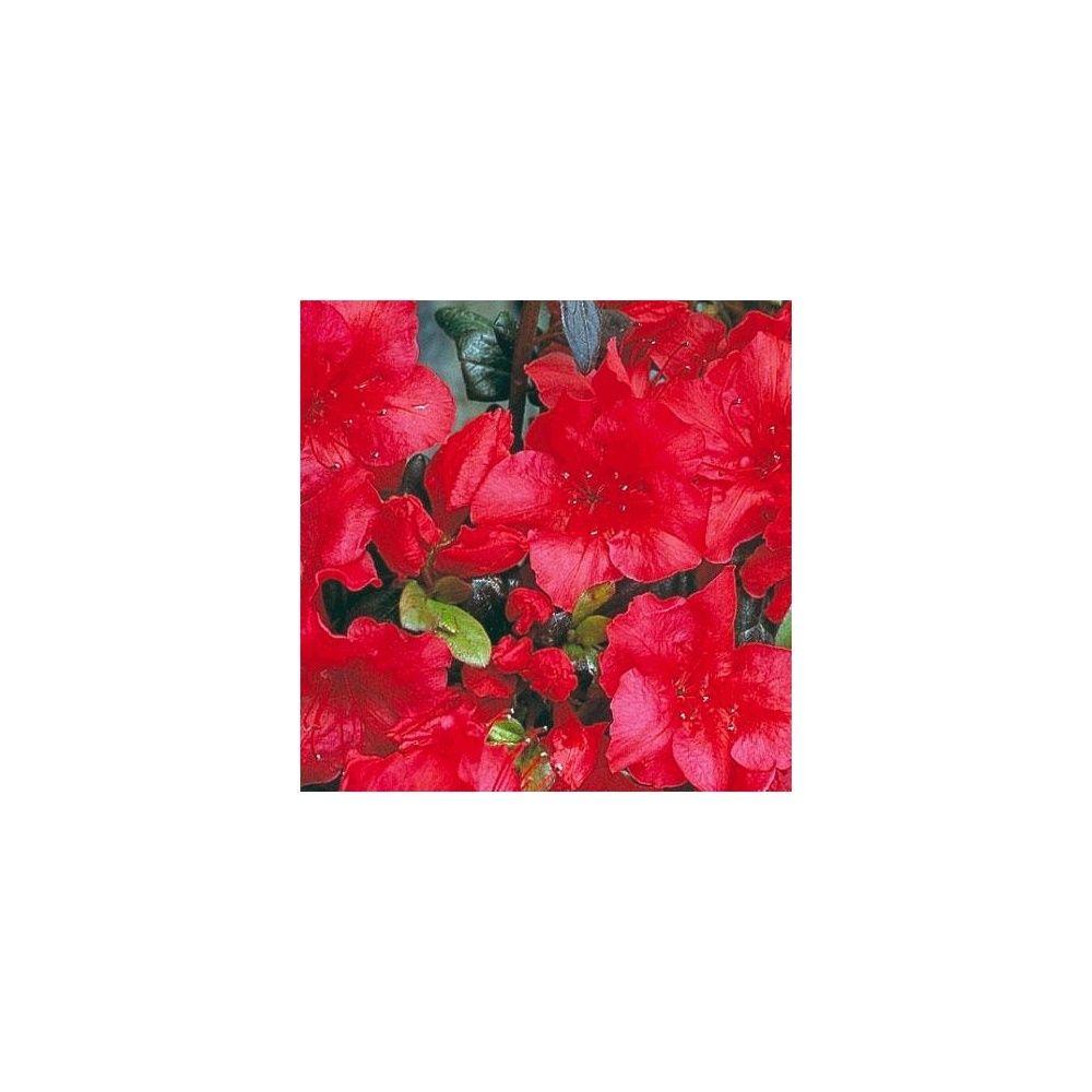 Azal e japonaise 39 johanna 39 plantes et jardins for Azalee interieur entretien