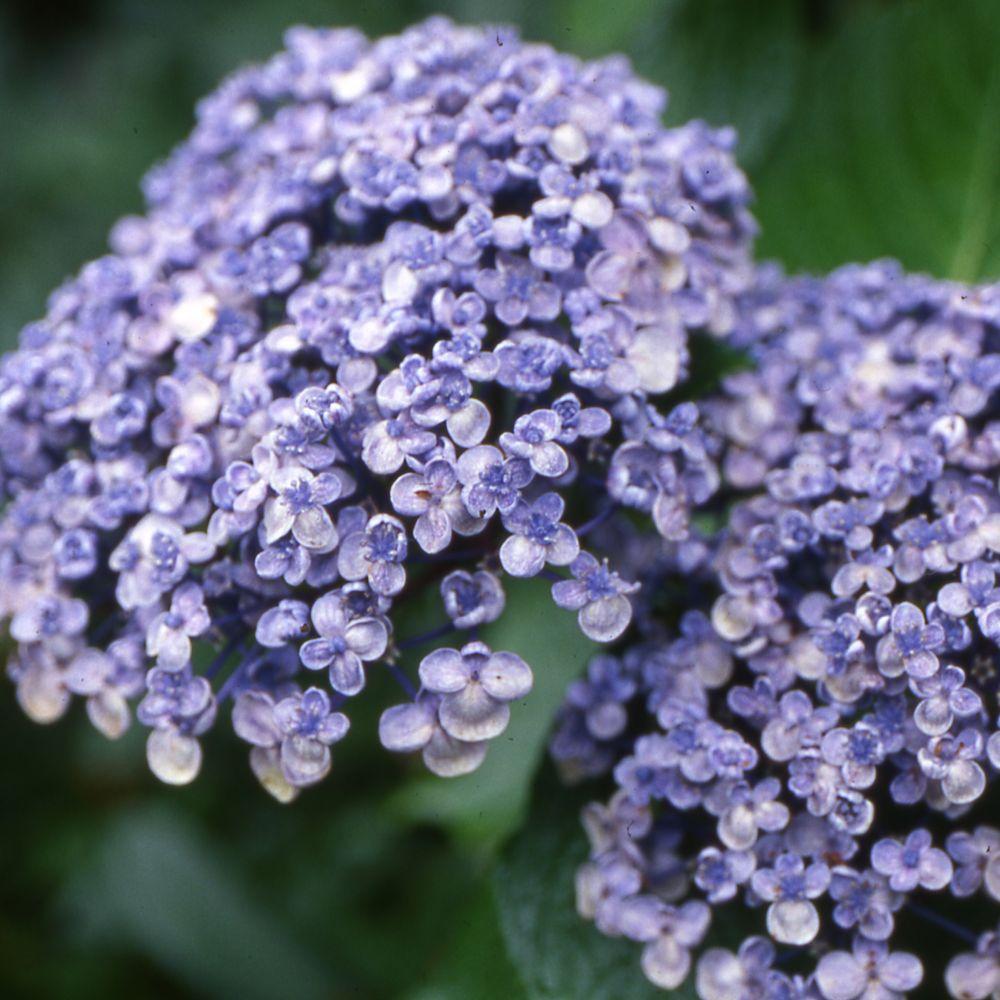 hortensia 39 ayesha 39 plantes et jardins. Black Bedroom Furniture Sets. Home Design Ideas