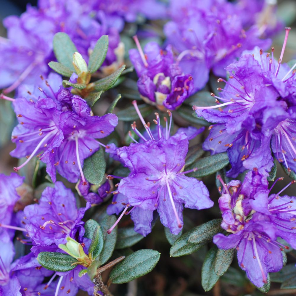 rhododendron nain 39 azurika 39 plantes et jardins. Black Bedroom Furniture Sets. Home Design Ideas