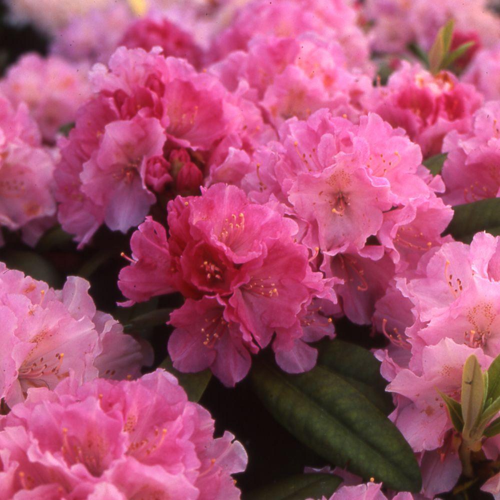 nice planter un rhododendron dans votre jardin 10 rhododendron yak u0027docu0027 - Planter Un Rhododendron Dans Votre Jardin