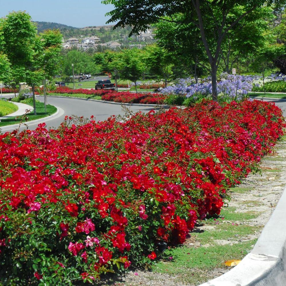 D corosier 39 vesuvia 39 plantes et jardins for Rosier grimpant vesuvia