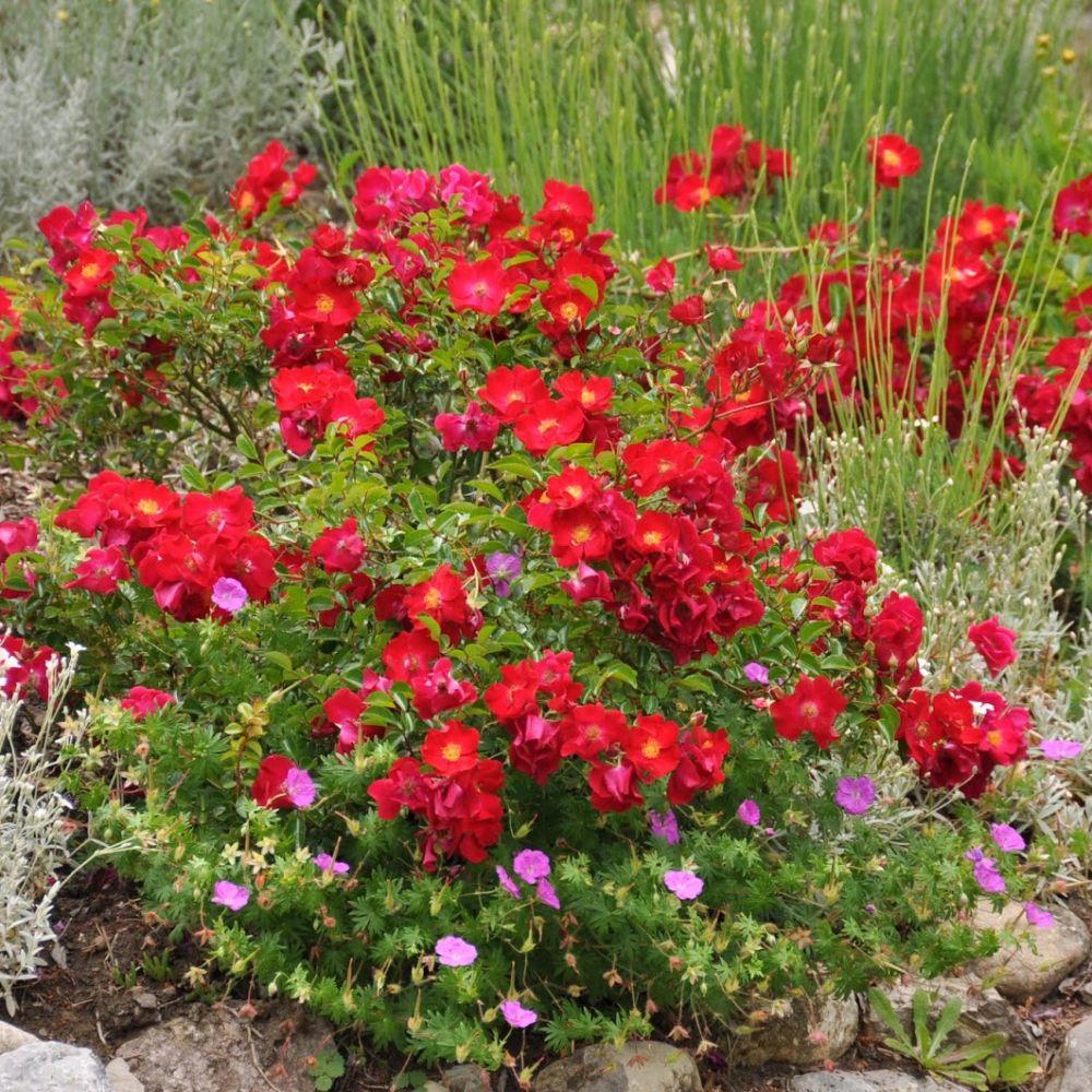 D corosier 39 vesuvia 39 plantes et jardins for Plantes et jardins adresse