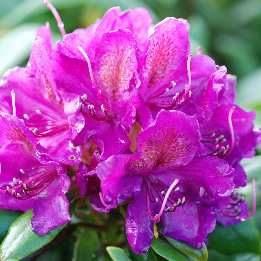 rhododendron marcel mnard - Planter Un Rhododendron Dans Votre Jardin