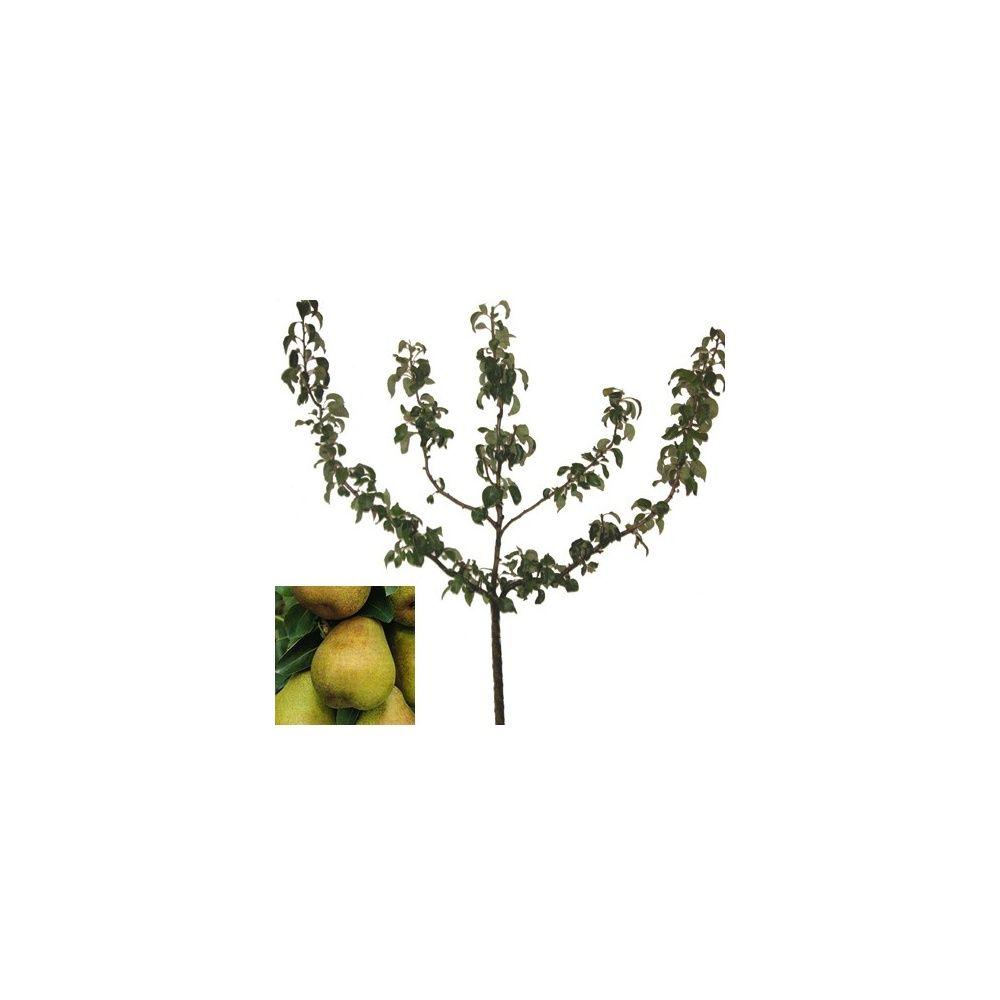 Poirier 39 doyenn du comice 39 taille en palmette oblique - Taille du poirier william ...