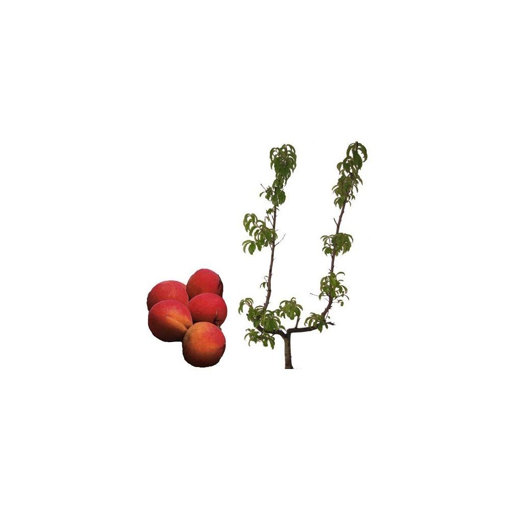 abricotier 39 bergeron 39 taille en palmette u plantes et jardins. Black Bedroom Furniture Sets. Home Design Ideas