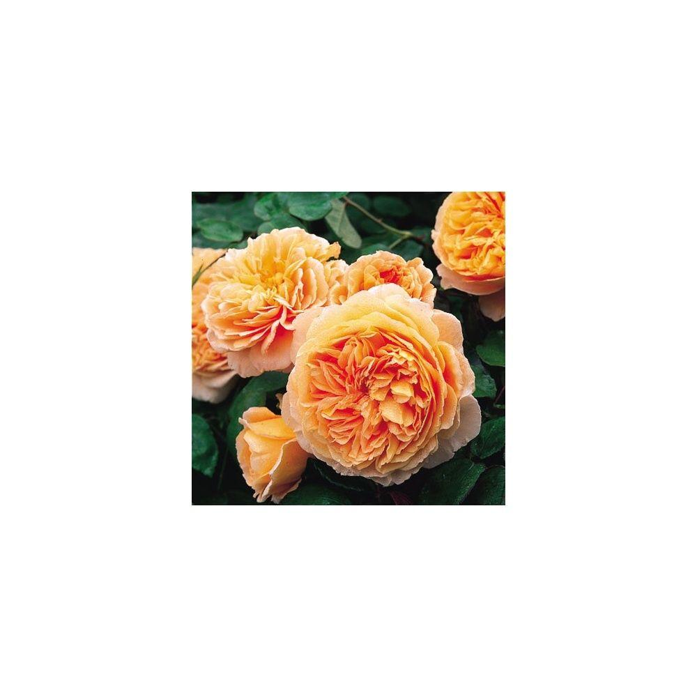 Rosier anglais 39 crown princess margareta 39 auswinter for Planter en anglais