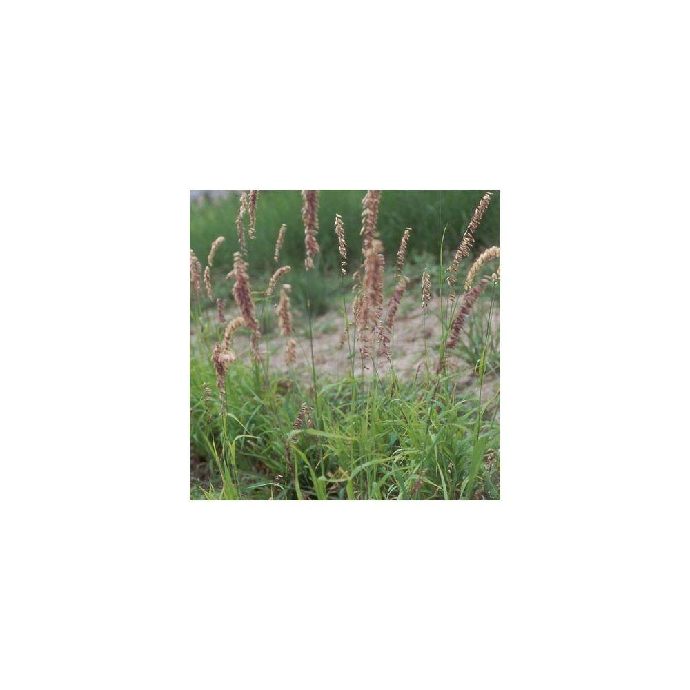 Melica altissima 39 atropurpurea 39 plantes et jardins for Plante et jardins