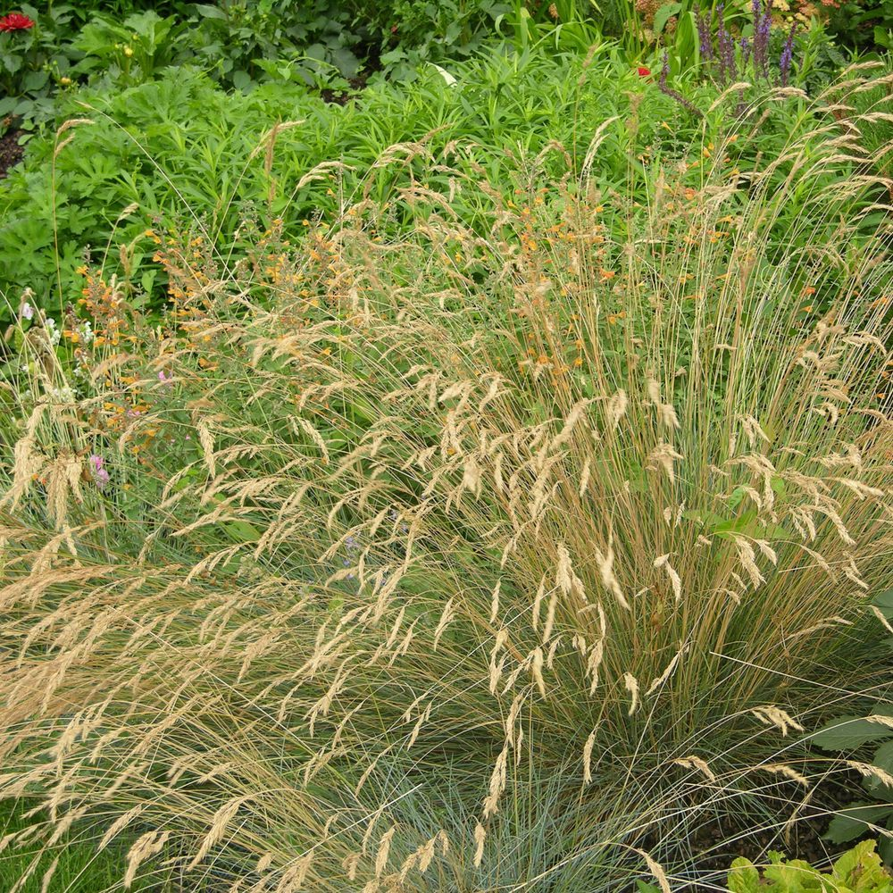 Molinia caerula plantes et jardins for Plantes et jardins adresse