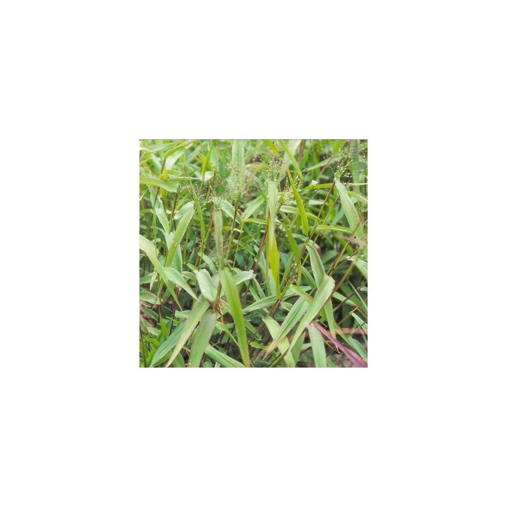 Panicum clandestinum le lot de 3 godets plantes et jardins for Plante et jardins