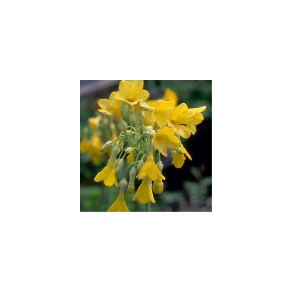 Primula florindae plantes et jardins for Plante et jardins