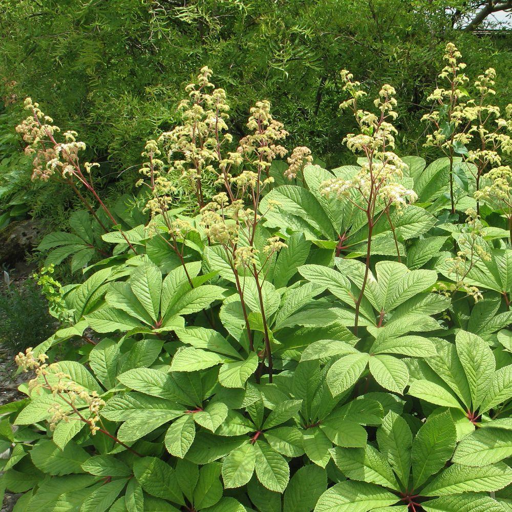 Rodgersia pinnata plantes et jardins - Www plantes et jardins com ...