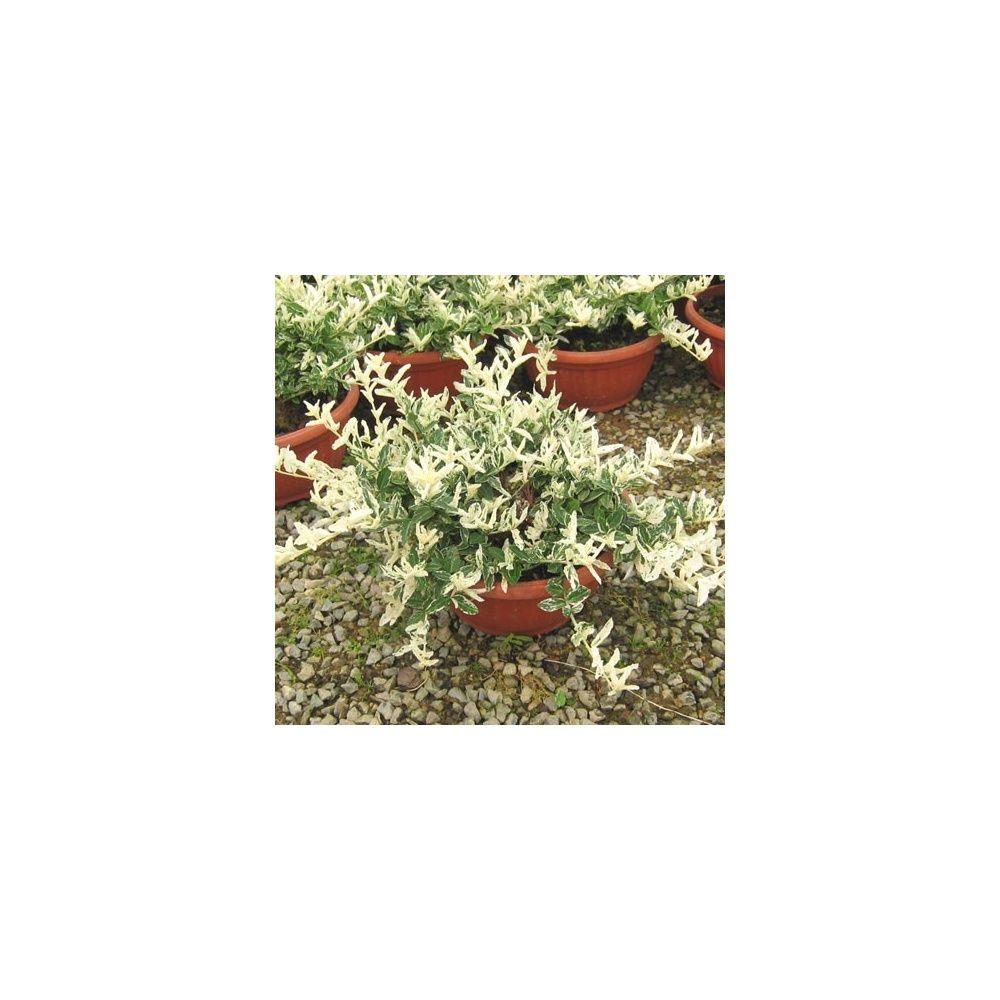 fusain du japon 39 arlequin 39 coupe plantes et jardins. Black Bedroom Furniture Sets. Home Design Ideas