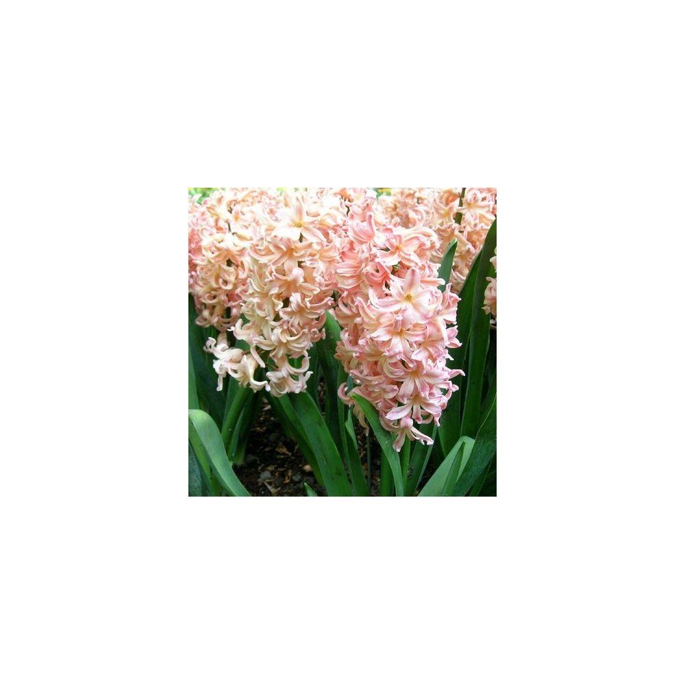 Jacinthe 39 gipsy queen 39 lot de 3 plantes et jardins for Plante et jardins