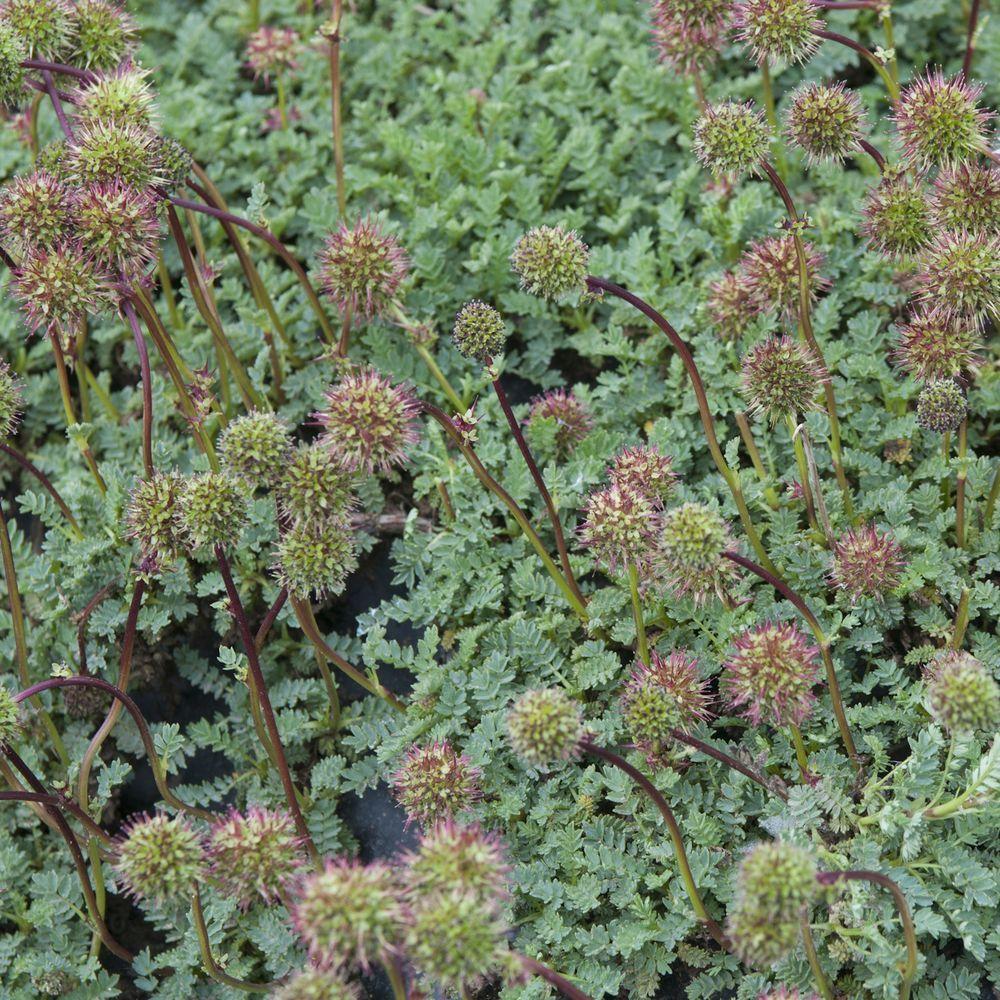 Acaena buchananii plantes et jardins for Achat plante jardin