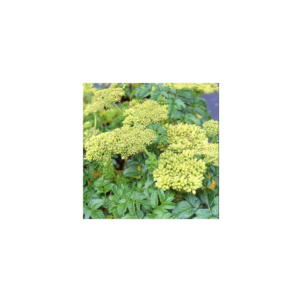 Angelica pachycarpa plantes et jardins for Plantes et jardins