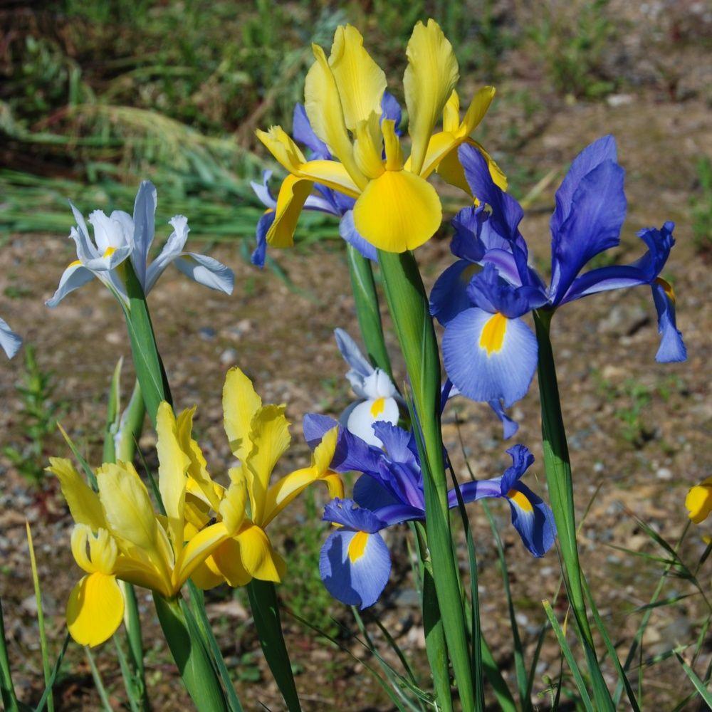25 iris de hollande vari s plantes et jardins. Black Bedroom Furniture Sets. Home Design Ideas