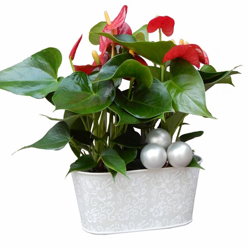 S lection no l anthurium rouge plantes et jardins for Plante noel rouge