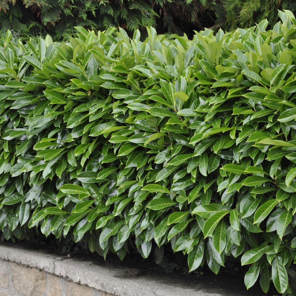 Laurier palme 39 caucasica 39 plantes et jardins for Plante et jardins