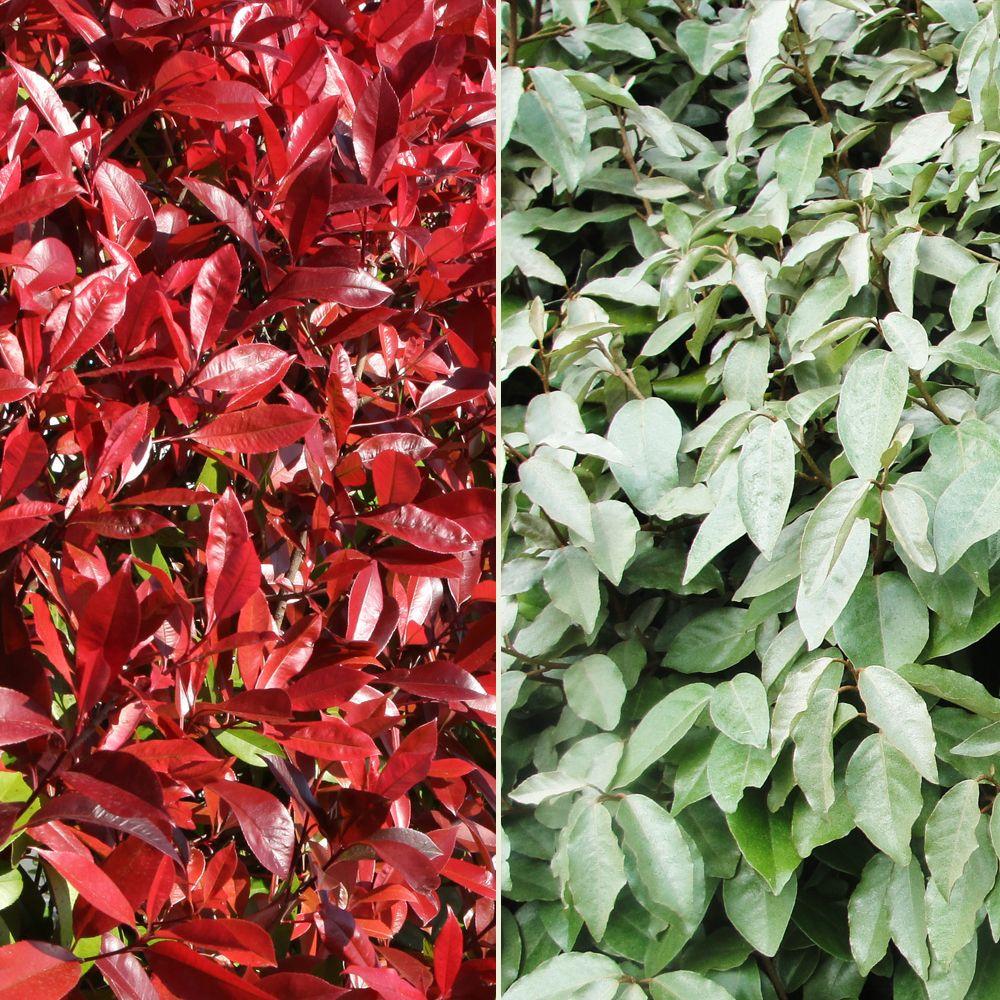 Kit de haie persistante rouge et verte pour 10 m plantes for Plante persistante