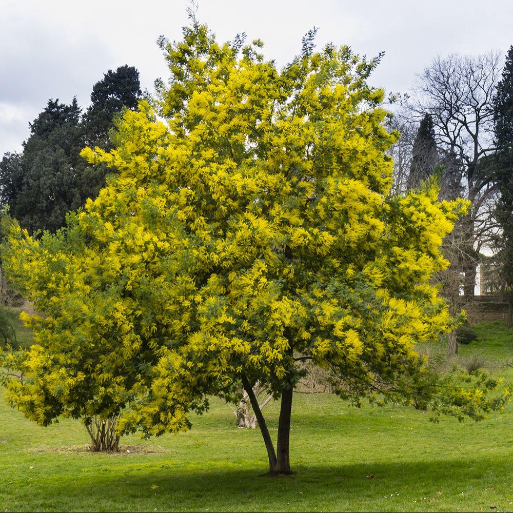 mimosa d 39 hiver 39 le gaulois 39 plantes et jardins. Black Bedroom Furniture Sets. Home Design Ideas