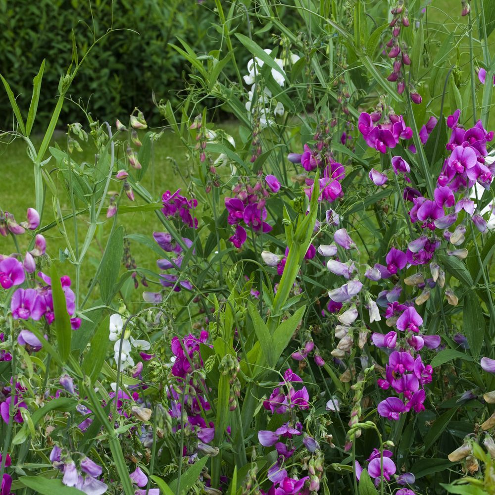 Lathyrus latifolius plantes et jardins for Plantes et jardins adresse
