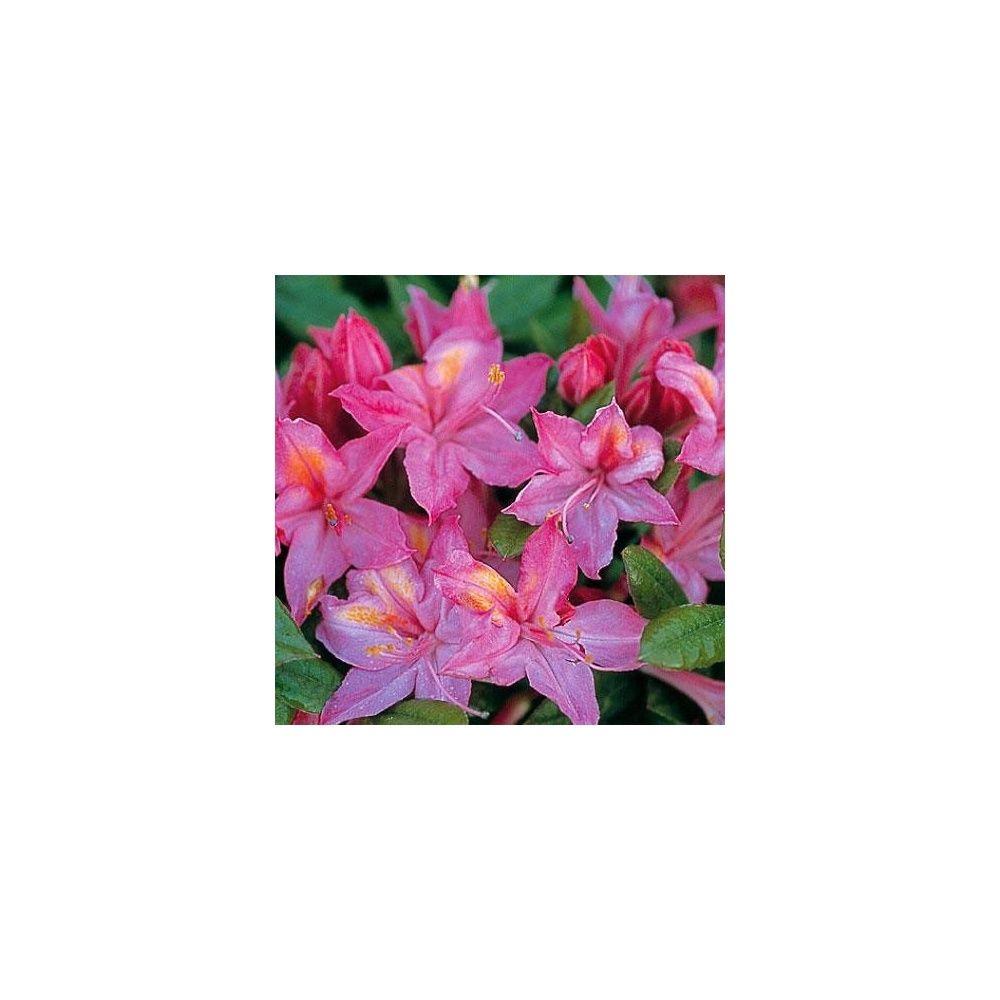 azal e de chine 39 jolie madame 39 plantes et jardins. Black Bedroom Furniture Sets. Home Design Ideas