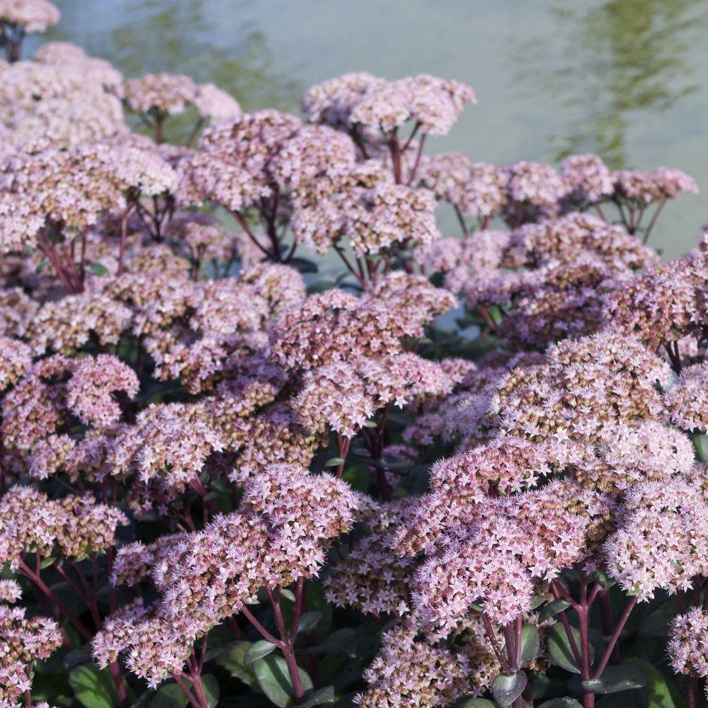 Sedum matrona plantes et jardins - Www plantes et jardins com ...