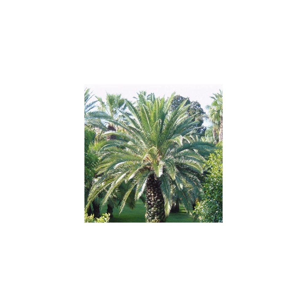 palmier phoenix des canaries plantes et jardins. Black Bedroom Furniture Sets. Home Design Ideas