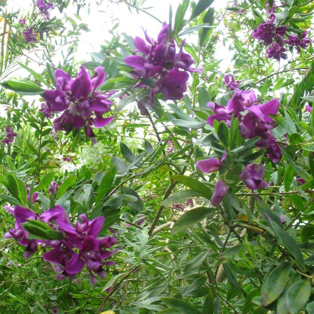 Polygala myrtifolia plantes et jardins for Plante et jardin catalogue
