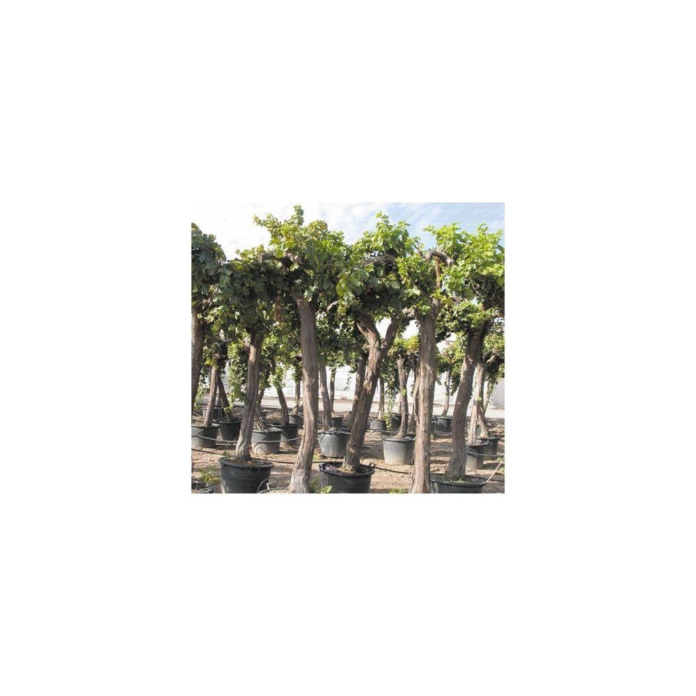 Cep de vigne - Plantes et Jardins