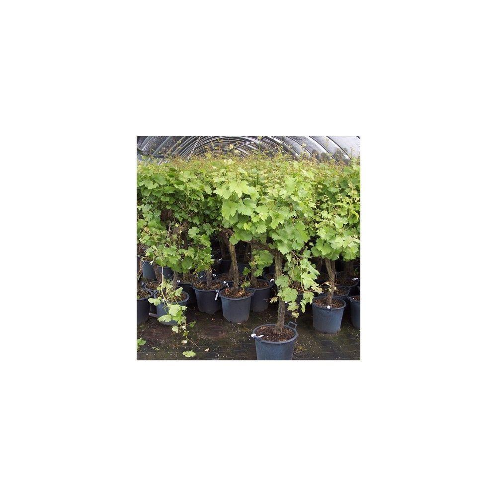Cep de vigne specimen rouge - Plantes et Jardins