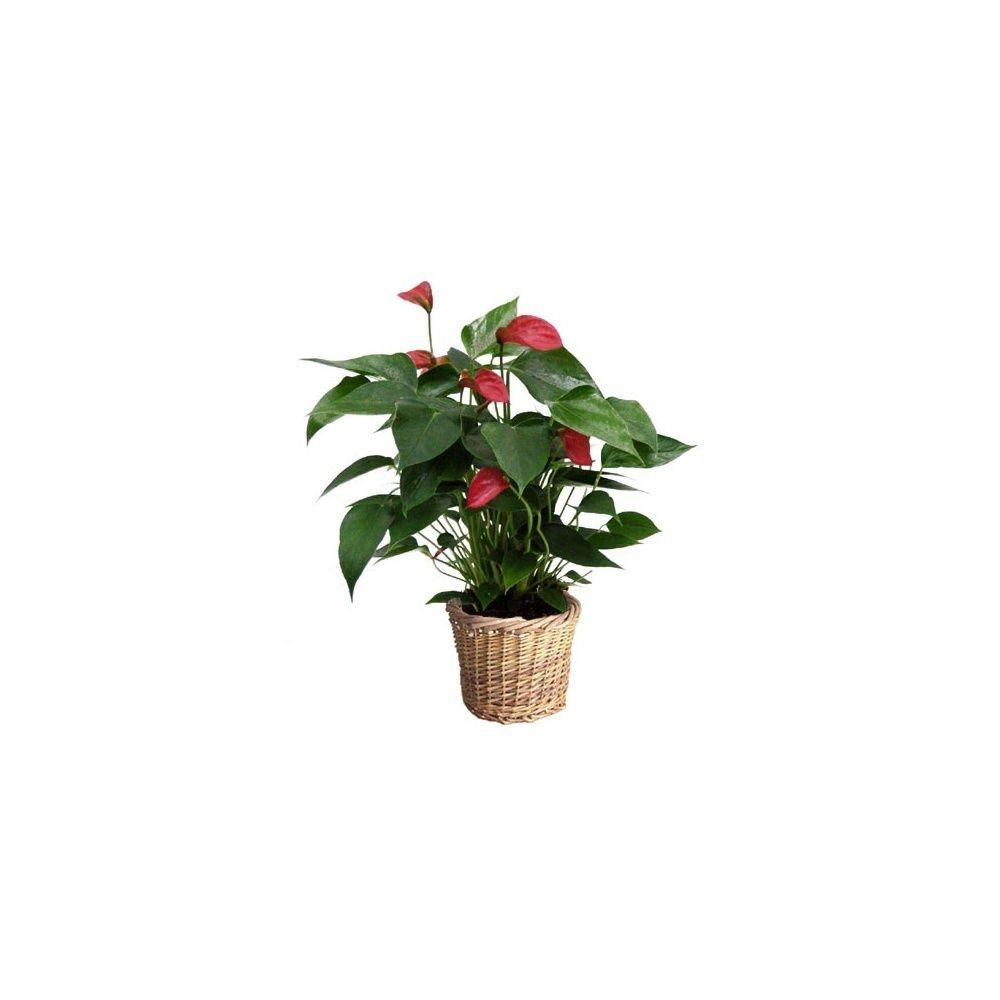 anthurium 39 silence 39 avec cache pot plantes et jardins. Black Bedroom Furniture Sets. Home Design Ideas