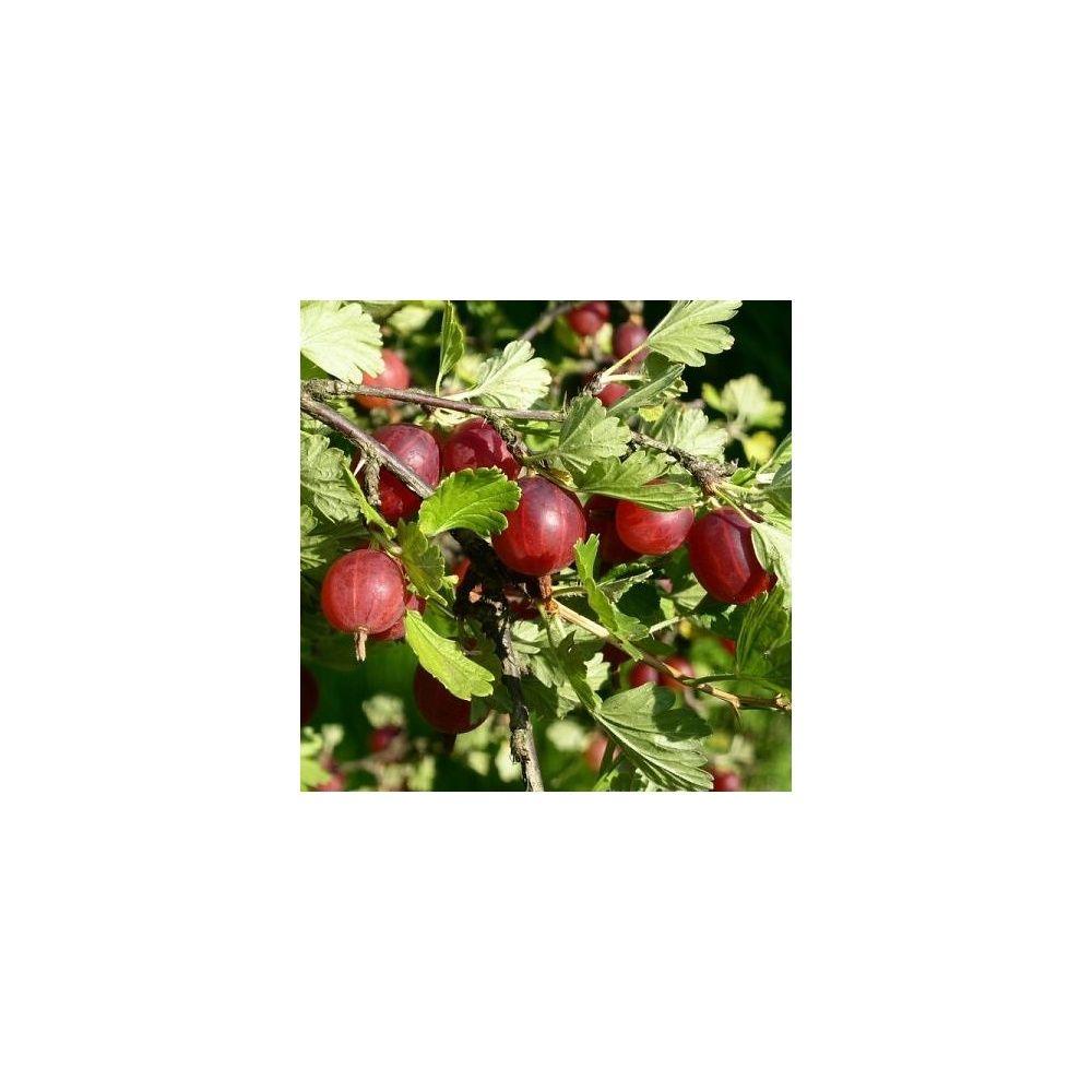 groseillier maquereau rouge 39 winham 39 s industry 39 plantes et jardins. Black Bedroom Furniture Sets. Home Design Ideas
