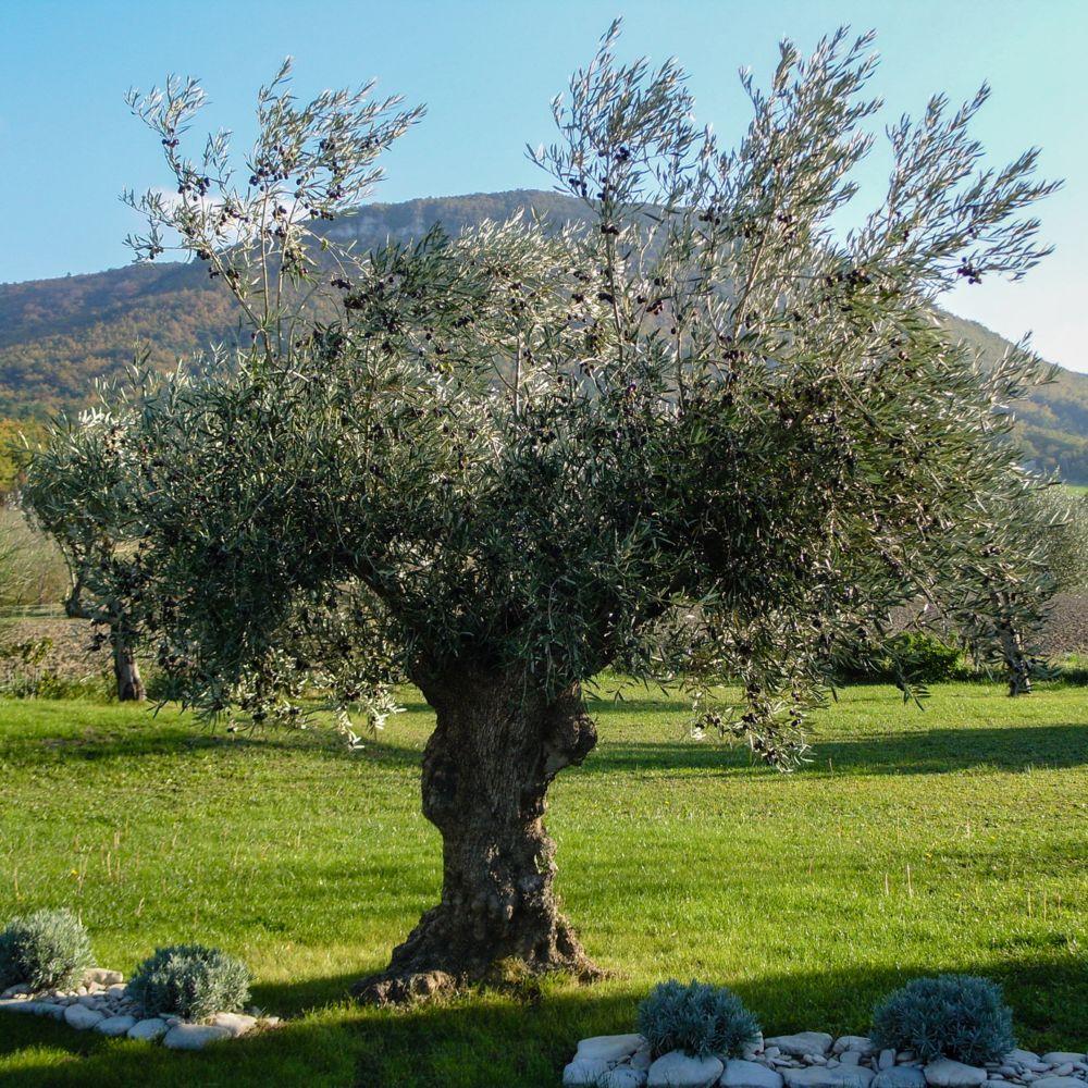 Olivier sp cimen n 5 plantes et jardins - Jardin taille olivier ...