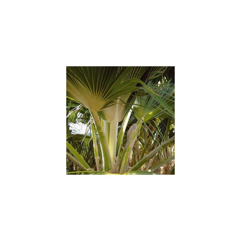 Palmier d 39 hawai plantes et jardins for Maladie palmier interieur