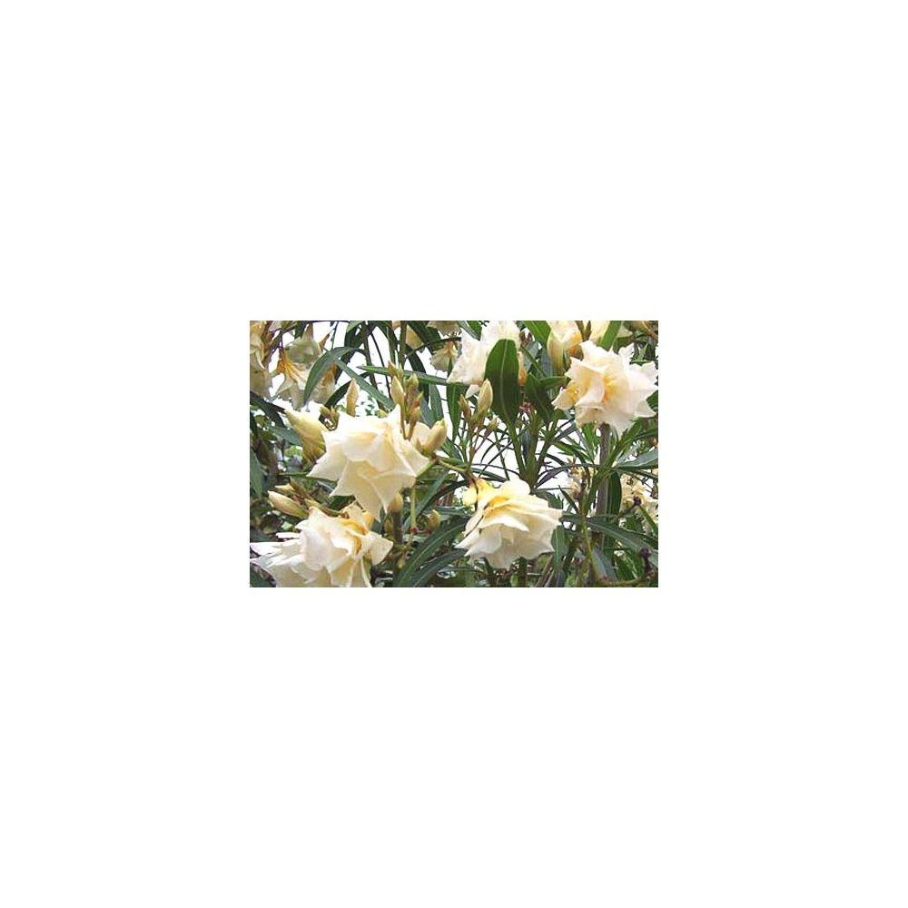 laurier rose 39 luteum plenum 39 plantes et jardins. Black Bedroom Furniture Sets. Home Design Ideas