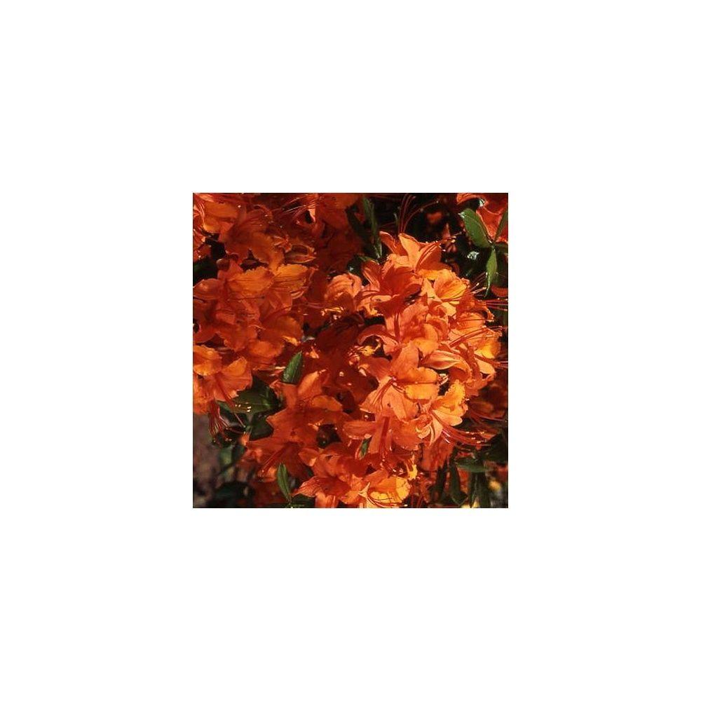 azal e de chine 39 coccinea speciosa 39 plantes et jardins. Black Bedroom Furniture Sets. Home Design Ideas