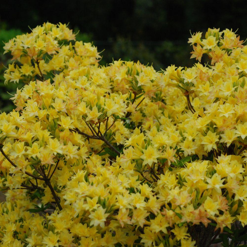 Azal e de chine 39 narcissiflora 39 plantes et jardins - Que planter en janvier ...