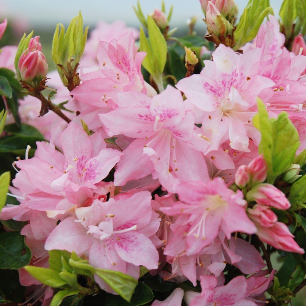 Azal e japonaise 39 azuma kagami 39 plantes et jardins for Plantes japonaises