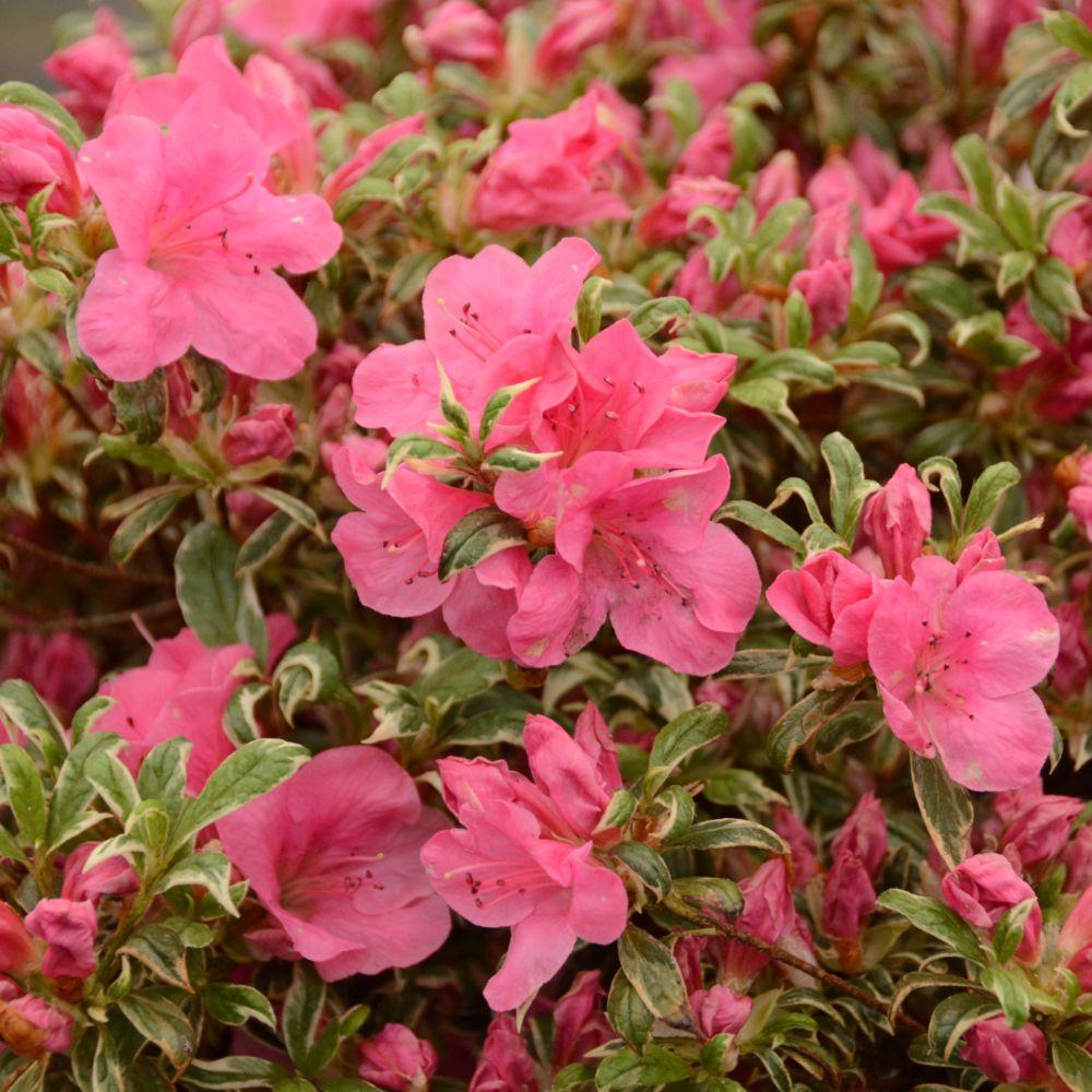 Azal e japonaise 39 silver queen 39 plantes et jardins for Plante japonaise pour jardin