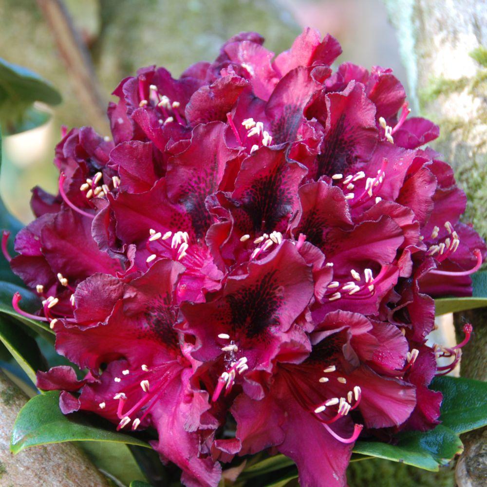 rhododendron 39 moser 39 s maroon 39 plantes et jardins. Black Bedroom Furniture Sets. Home Design Ideas