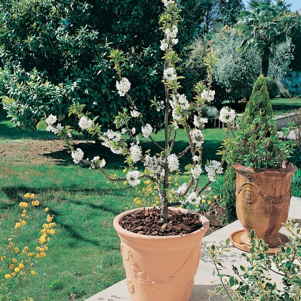 cerisier nain 39 garden bing 39 en pot plantes et jardins. Black Bedroom Furniture Sets. Home Design Ideas