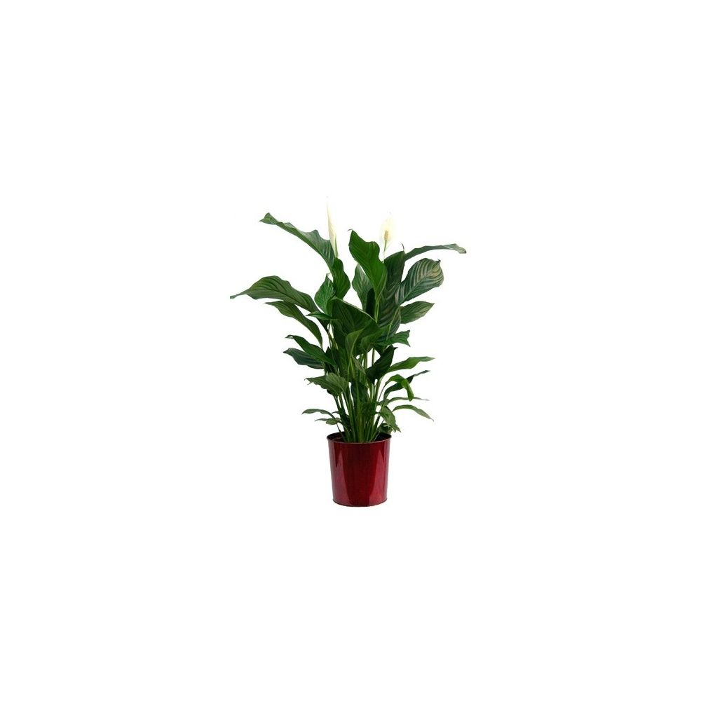 spathiphyllum cache pot rouge plantes et jardins. Black Bedroom Furniture Sets. Home Design Ideas