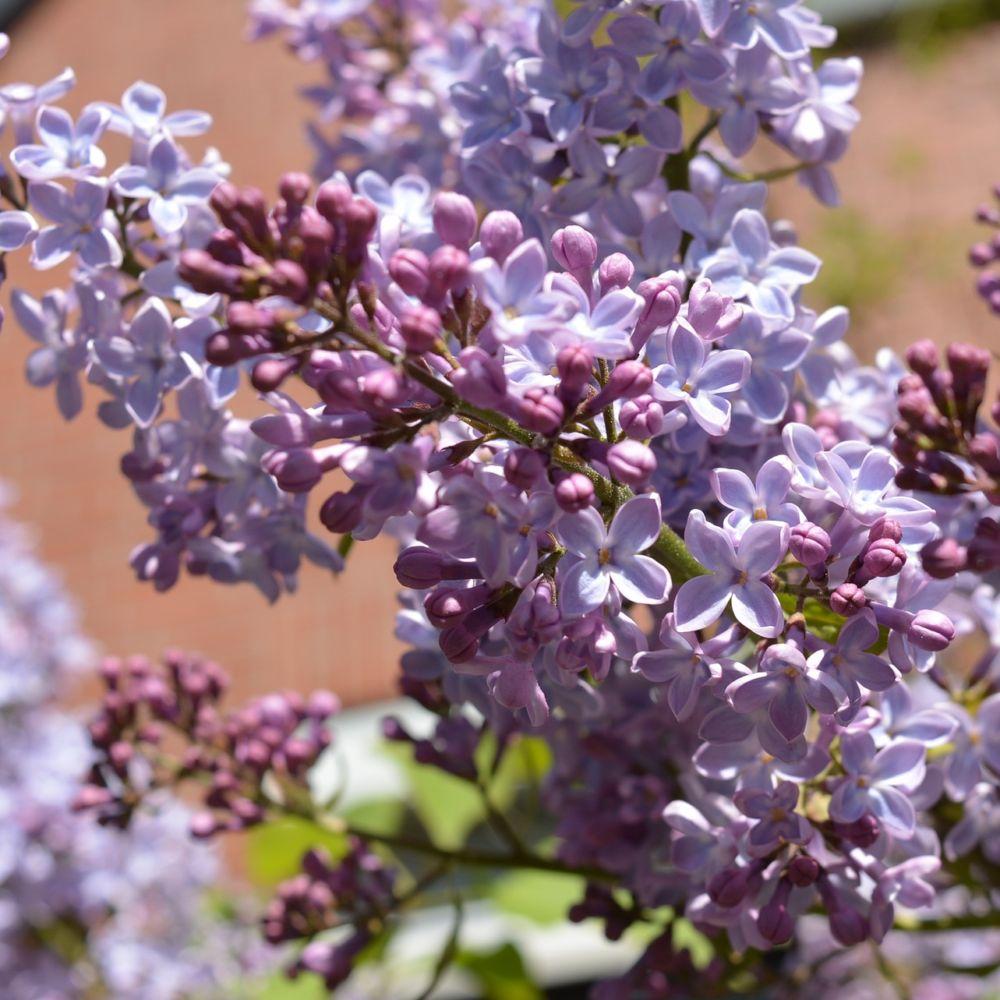 Lilas commun 39 prince wolkonsky 39 plantes et jardins for Plante et jardins
