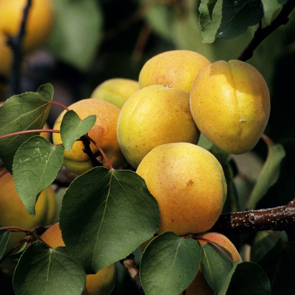 Abricotier 39 p che de nancy 39 taille en gobelet plantes for La taille de l abricotier